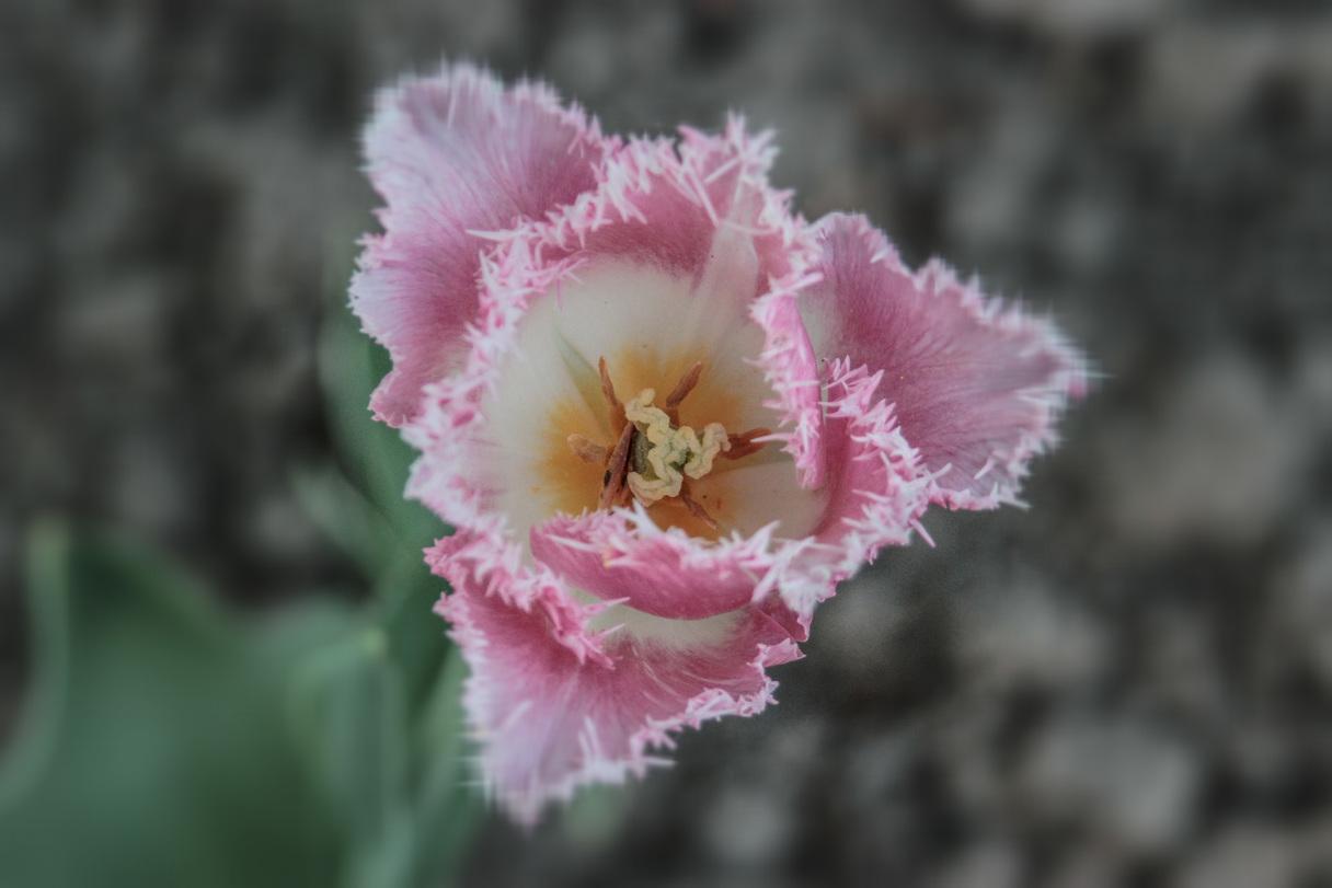 zied tulpes